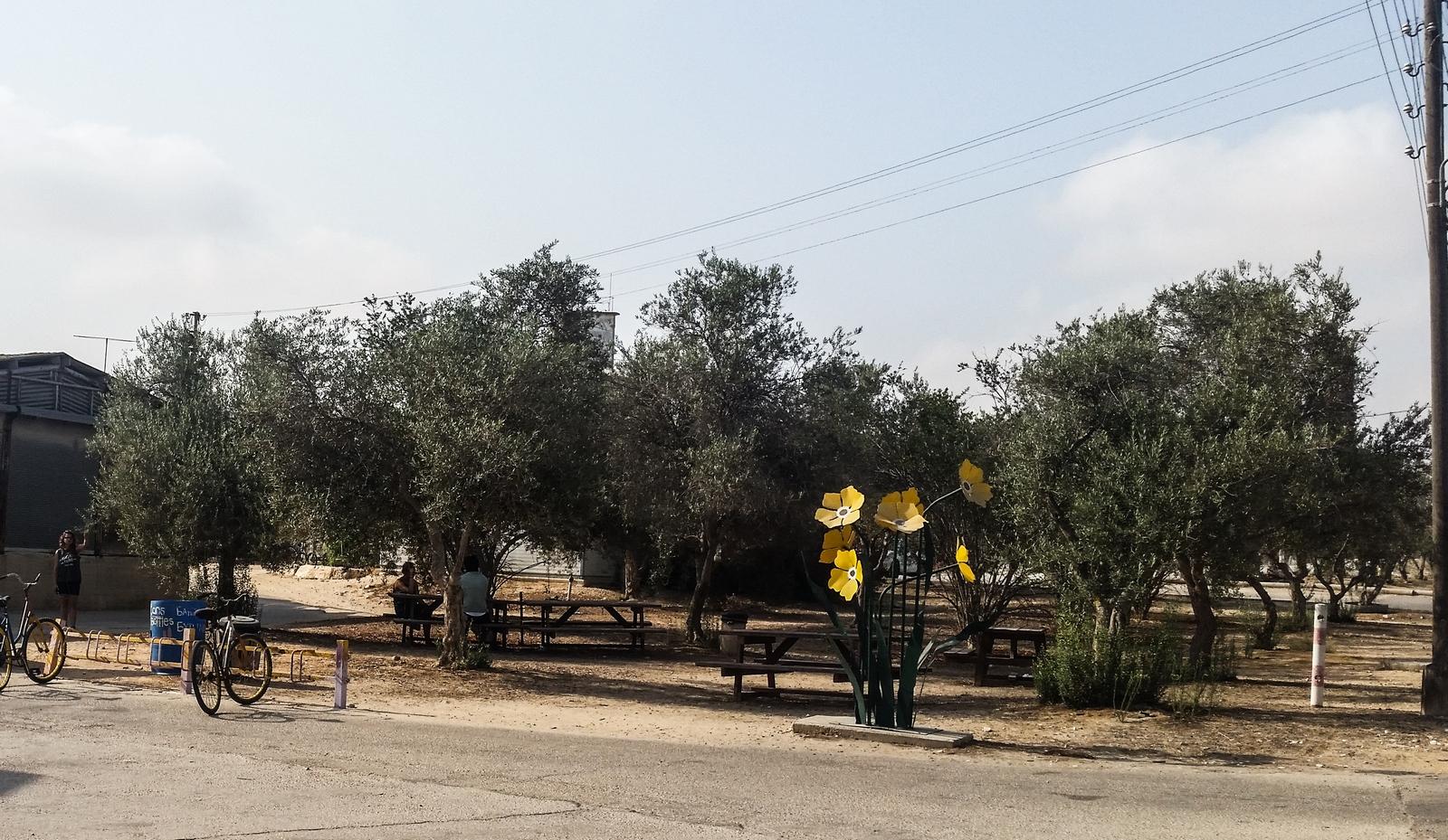 Оливковая площадка около магазина в кибуце Ревивим