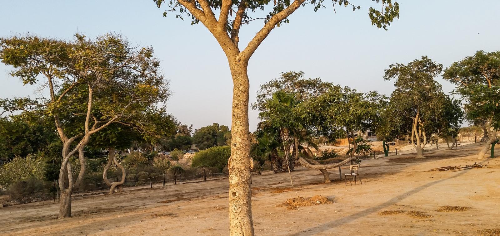 """Знаменитые """"кривые"""" деревья в кибуце Revivim"""