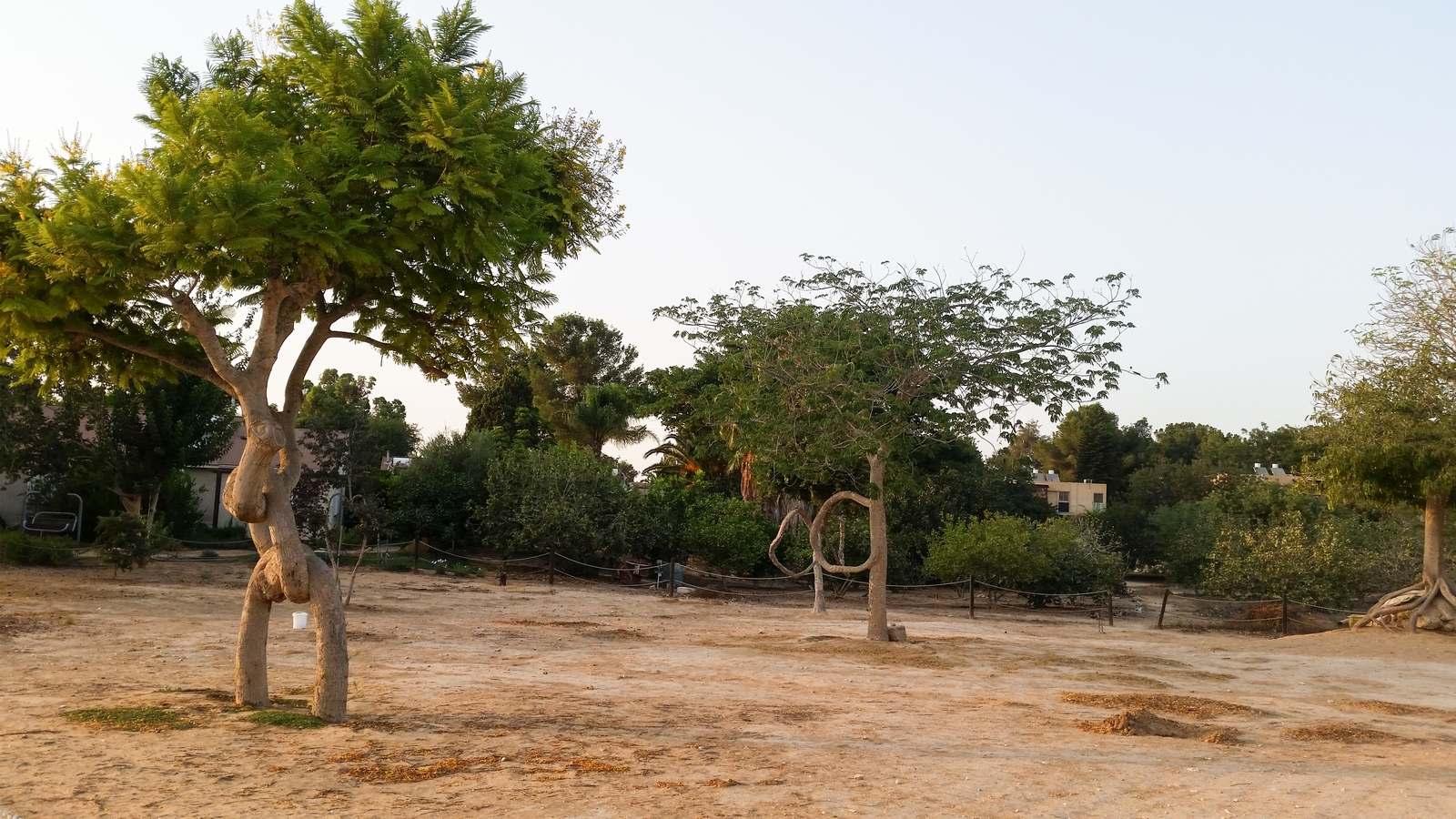 """Знаменитые """"кривые"""" деревья - крупный план"""